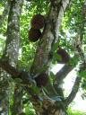Jackfrucht am Baum