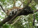 müder Jaguar